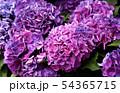 白山神社で飾らていたアジサイ(2) 54365715