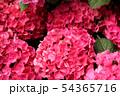 白山神社で飾らていたアジサイ(3) 54365716