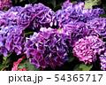 白山神社で飾らていたアジサイ(4) 54365717