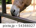 柵を舐める馬 54366027