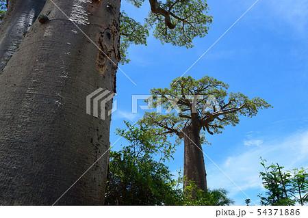 バオバブの木 54371886