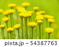 タンジ 54387763