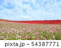 コスモス畑とコキア 54387771