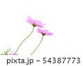 コスモス 54387773