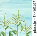トウモロコシの雄花 畑 青空 風景 54405197