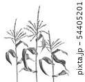 トウモロコシの雄花 畑 モノトーン 水墨 54405201