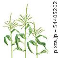 トウモロコシの雄花 畑  風景 54405202