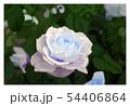 薔薇 54406864