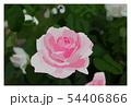 薔薇 54406866