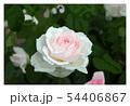 薔薇 54406867
