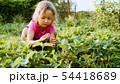 Little girl is picking strawberry while sitting near the plant bed in the garden 54418689