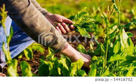 Farmer man tears sorrel from the beds and collects the leaves in a bunch. 54418702