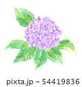 あじさい 花 ピンク系 54419836
