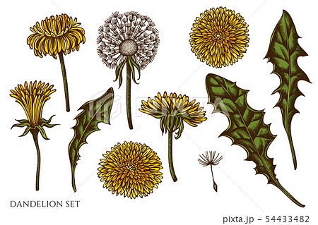 Vector set of hand drawn colored dandelion 54433482