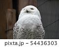 フクロウ 54436303