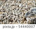 沖縄 ビーチに打ち上げられたサンゴ 54440007