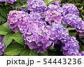 安養寺 雨の紫陽花 岡山県倉敷市浅原 54443236