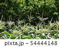 トウモロコシ畑 54444148