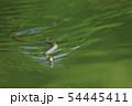 泳ぐアオダイショウ 54445411