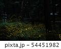 ヒメボタルの乱舞 54451982