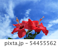 沖縄の青空に咲くハイビスカス 54455562