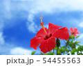 沖縄の青空に咲くハイビスカス 54455563