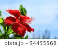 沖縄の青空に咲くハイビスカス 54455568