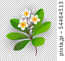 Vector illustration of blooming plumeria. 54464513