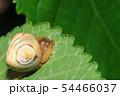 オオトリノフンダマシ(メス) 54466037