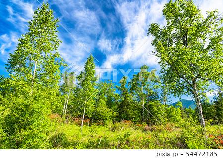 《長野県》新緑の乗鞍高原・白樺と青空 54472185