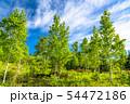 《長野県》新緑の乗鞍高原・白樺と青空 54472186