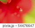 幻想的な真っ赤な皐月の花 クローズアップ写真 54476647