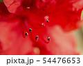 幻想的な真っ赤な皐月の花 クローズアップ写真 54476653