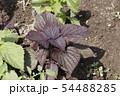 赤紫蘇栽培,赤しそ 54488285