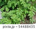 ジャガイモの葉 54488435