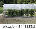 トマト栽培、ビニールで雨除け 54488538