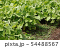 日本の菜園で成長するするヤーコン 54488567
