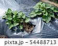 日本のサツマイモ畑、6月、まだツルも伸びてなくて小さい 54488713