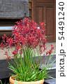 カンガルーポー(アニゴザントス)の鉢植え 54491240