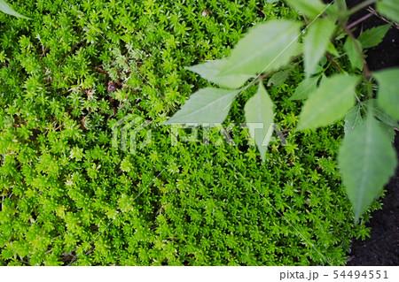 密生する緑色のマンネングサ 54494551