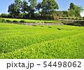 新緑の茶畑-13168 54498062