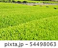新緑の茶畑-13169 54498063