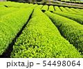 新緑の茶畑-13170 54498064