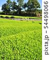 新緑の茶畑-13172 54498066