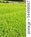 新緑の茶畑-13173 54498067