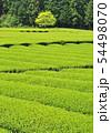 新緑の茶畑-13192 54498070