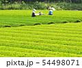 新緑の茶畑-13198 54498071