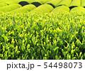 新緑の茶葉-13201 54498073