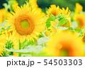 向日葵 (津南ひまわり広場) 54503303