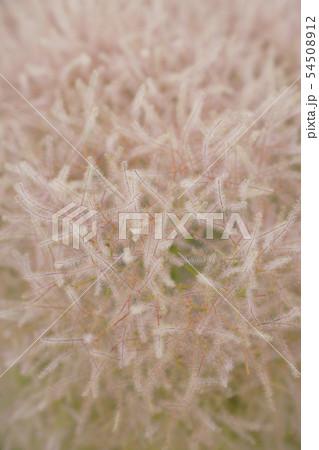 花後、煙のような綿菓子のようなスモークツリー(ケムリノキ)...2 54508912